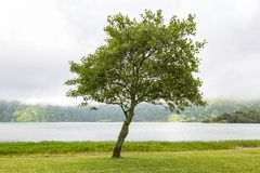 Lone Tree. A tree next to Lagoa Azul in Sete Cidades, Portugal royalty free stock photography