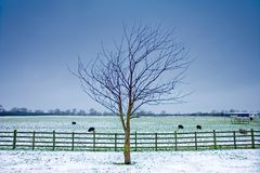 Lone tree next to a wintery field with black sheep. And wooden fence and a dark sky Stock Photo