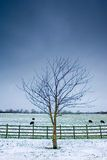 Lone tree next to a wintery field with black sheep. And wooden fence and a dark sky Stock Image