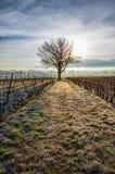 Lone Tree och vingård II Arkivbild