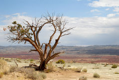 Lone tree outside Zion National Park. Lone straggly tree outside Zion National Park, Utah stock image