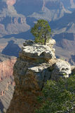 Lone Tree Overlooking the Grand Canyon Royalty Free Stock Image