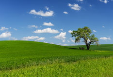 A lone Tree in the Palouse Stock Photos