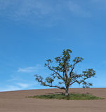 Lone Tree in Paso Robles Wine Country Scenery Royalty Free Stock Image