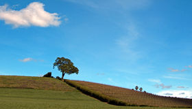 Lone Tree in Paso Robles Wine Country Scenery Royalty Free Stock Photo
