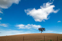Lone Tree in Paso Robles Wine Country Scenery Stock Image
