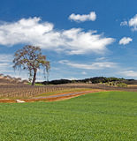 Lone Tree in Paso Robles Wine Country Scenery Royalty Free Stock Photos