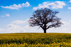 Lone Tree and Rape Field Melbourne. Lone tree and rape seed field at Melbourne in April Stock Photos