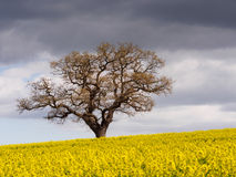 Lone Tree and Rape Field Melbourne. Lone tree and rape seed field at Melbourne in April Stock Photo