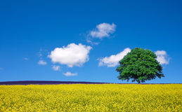 Lone tree and rape fields Royalty Free Stock Photos