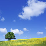 Lone tree and rape fields Stock Photos