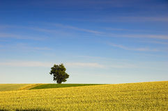 Lone Tree in Rapeseed Field Royalty Free Stock Photo