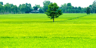Lone tree in the rice fields Royalty Free Stock Photos