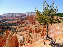 Lone tree on the Rim Trail at Bryce Canyon National Park stock photography