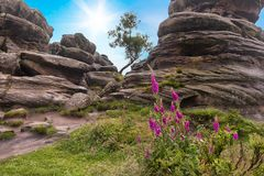 Digitalis and lone tree at Brimham Rocks. Lone tree between rock formations at Brimham Rocks, Yorkshire Dales, England Stock Images