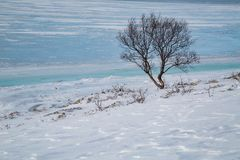 Lone tree on the shore of a frozen fjord in Norway stock image