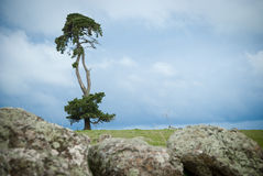 The lone tree. A single pine tree jutting up with a rocky foreground Stock Images