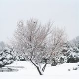 Lone tree in the snow. Royalty Free Stock Image