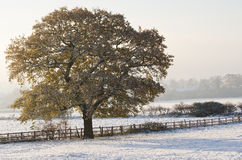 Lone Tree in the Snow. An early autumn snowfall with a tree still covered with autumn leaves Royalty Free Stock Photo