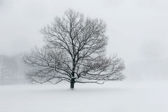 A lone tree in snow. A lone tree in a field covered with snow during a heavy snowfall Royalty Free Stock Image