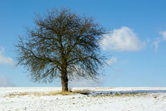 Lone tree in snowy field. Lone tree with bare branches in snowy countryside field, blue sky and cloudscape background Royalty Free Stock Image