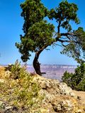 Lone Tree at the Grand Canyon royalty free stock image