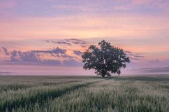 A lone tree standing on a crop field in warm light. At sunrise Royalty Free Stock Photography