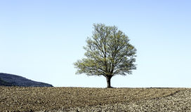 Lone Tree. A lone tree stands out in the midst of a freshly raked field in the Town of Knox, NY Royalty Free Stock Photo