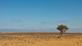 Lone Tree in Stone Desert, Sahara, Libya Stock Photos