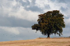 Lone tree in storm. A single tree in a field prior to a fierce storm Royalty Free Stock Images