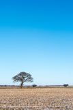 Lone tree in a stubble field Stock Images