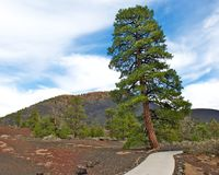 Lone Tree at Sunset Crater National Park. Stock Photography