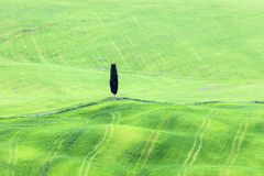 Lone tree in Tuscany Royalty Free Stock Image
