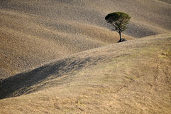 Lone Tree, Tuscany, Italy Royalty Free Stock Photo