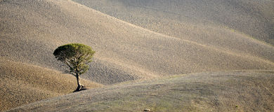 Lone Tree, Tuscany, Italy Royalty Free Stock Images