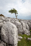 A lone tree on Twisleton Scar in the Yorkshire Dales National Park Stock Photo