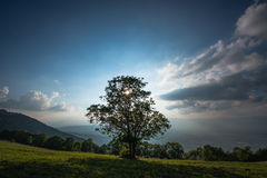 Lone Tree Under White Cumulus Clouds and Sun Shine Royalty Free Stock Image