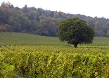 Lone tree in a vineyard. Vineyard, England stock image