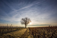 Lone Tree and Vineyard III. Lone tree and morning sunrise in a vineyard Stock Images