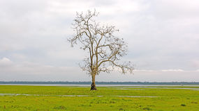 Lone Tree on a Wetland Marsh Royalty Free Stock Images