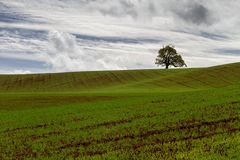 A lone tree in a wheat field. A tree of great age stands proud watching over the newly germinated wheat thats a few days old royalty free stock photo