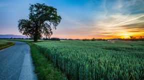 Lone Tree, Wheat Field and Sunrise Stock Images