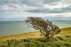 A lone tree in the wind. A lone tree with the sea at it's back Royalty Free Stock Photo