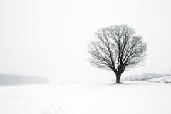 Lone Tree in Winter Blizzard. A lone tree in winter standing in a field during a blizzard royalty free stock photos