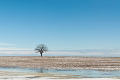 Lone Tree in Winter Field with Blue Sky Royalty Free Stock Images