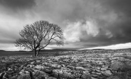 Lone Tree, Yorkshire Dales in black and white. Lone tree above Malham Cove, Yorkshire Dales Royalty Free Stock Images