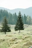Lone trees on alpine pasture with forest in background Royalty Free Stock Image