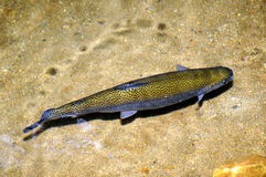 Free Lone Trout Stock Photo - 5689890