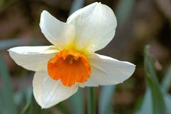 A Lone Trumpet Flower Of Narcissus - Narcissus Aflame. A garden escapee Heralds the Spring in a British Deciduous Woodland. Purity of white petals contrasts stock photos