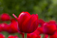 Lone Tulip. The tulip is a Eurasian and North African genus of perennial, bulbous plants in the lily family. It is a herbaceous herb with showy flowers, of which royalty free stock photography